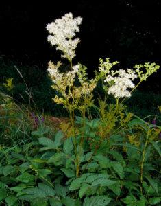 цветок лабазник фото описание, белоголовник лабазник